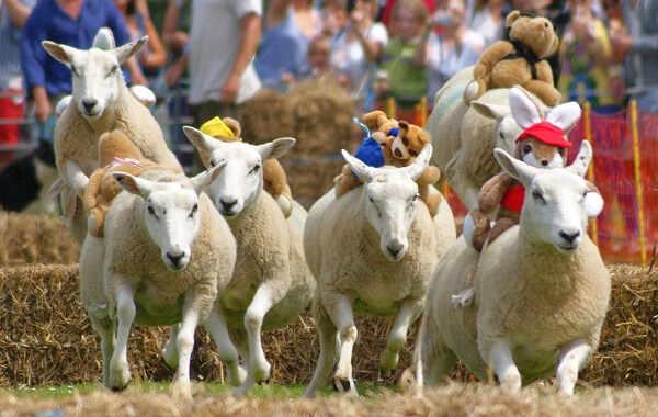 Course de moutons à Sark Jerseytour